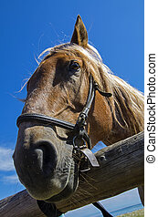 Old workhorse. - Portrait of an old work horse on a...