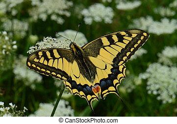 Old World Swallowtail 2