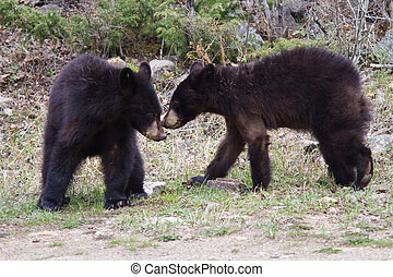Older black bear cubs early spring in Yellowstone