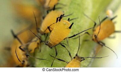 Oleander Aphids (Aphis nerii) - A pest of Oleander and...