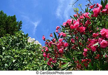 oleander, blühen