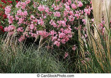 oleander, blühender busch