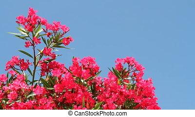 Oleander Blooms - Oleander tree blooms vibrantly against a...