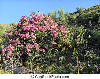 oleander, busch, straßenrand