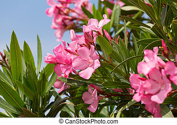 Oleander bush with pink flowers against the blue sky