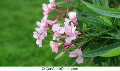 Oleander is perennial evergreen shrub - Oleander is a...