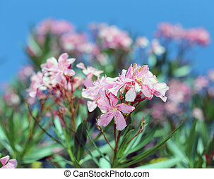Oleander plant with beautiful colored flowers