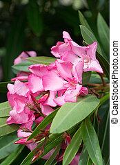oleander, rosa, busch, blumen