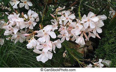 oleander, schöne , busch, blumen