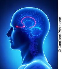 olfactory, セクション, -, 交差点, 解剖学, 脳, 電球