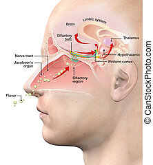 Olfactory sense, labeled, medically 3D illustration - This ...