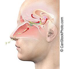 Olfactory sense, medically 3D illustration - This medically ...