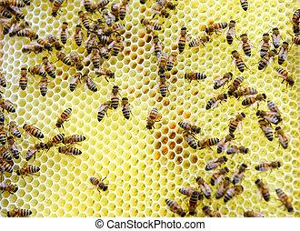 olhar, abelha, mel, bordas, hive., guarda