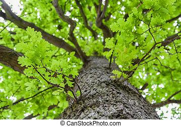 olhar, carvalho, coroa, cima, árvore