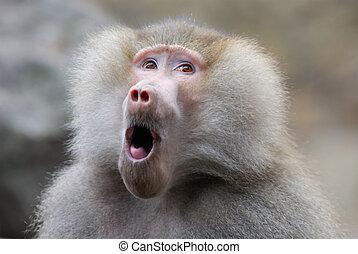 olhar, engraçado, babuíno