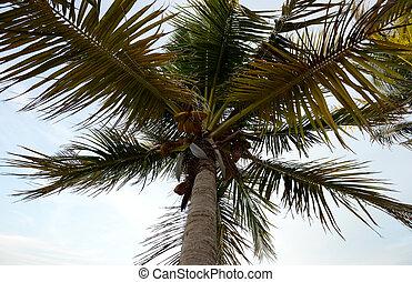 olhar, palma, árvore coco, cima
