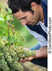 olhar, vintner, uvas, grupo