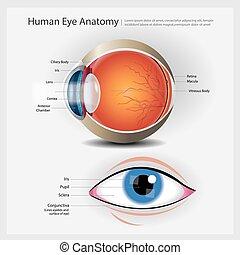 olho, anatomia humana, ilustração, vetorial