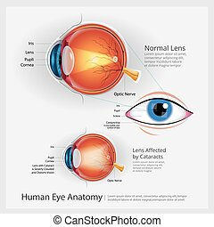 olho, human, vetorial, ilustração, anatomia