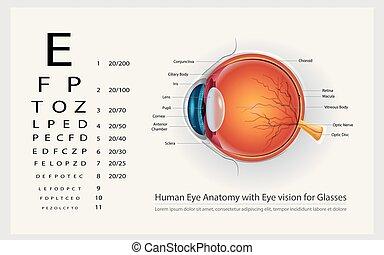 olho, ilustração, anatomia, vetorial, human, visão, óculos