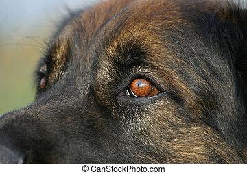 olhos, de, leonberger