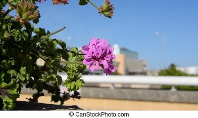 oliander in blosom, beautiful pink flowers and blue sky.