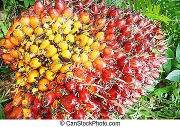 oliepalm, vruchten