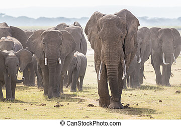 olifanten, amboseli, kudde, park, wild, kenya., nationale