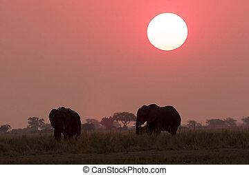 olifanten, gedurende, ondergaande zon