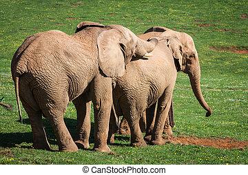 olifanten, gezin, op, afrikaan, savanna., safari, in, amboseli, kenia, afrika