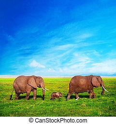 olifanten, gezin, op, savanna., safari, in, amboseli, kenia, afrika