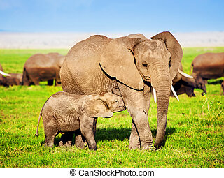 olifanten, gezin, op, savanna., safari, in, amboseli, kenia,...