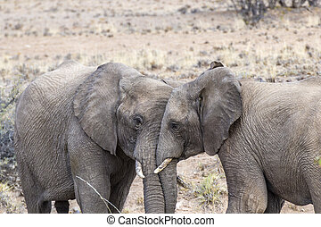 olifanten, in, de, savanne