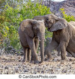olifanten, in, de, savanne, van, de, nationaal park etosha