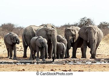 olifanten, modderig, kudde, afrikaan, waterhole, drinkt