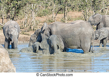 olifanten, modderig, waterhole, kudde, afrikaan