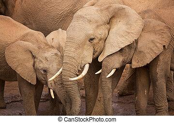 olifanten, nationale, afrika, kudde, park, elefant, addo, zuiden