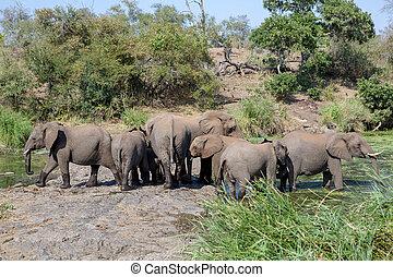 olifanten, park, nationale, afrika, kudde, kruger, zuiden