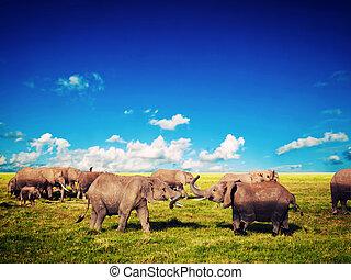 olifanten, spelend, op, savanna., safari, in, amboseli, kenia, afrika