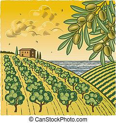 olijf boomgaard, landscape