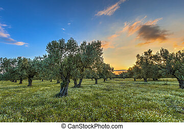 olijf boomgaard, op, zonopkomst