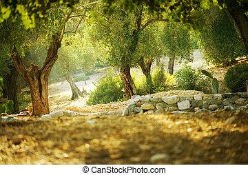 olijfbomen