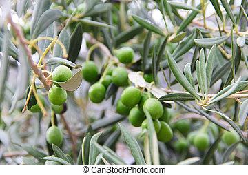 olijven, tak