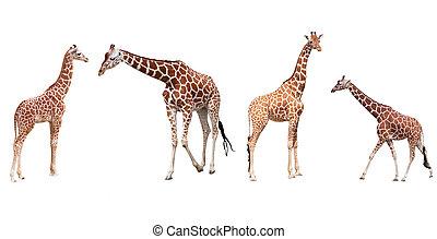 olik, sätta, giraffer, isolerat, fyra, bakgrund, vit, ge sig...