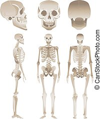 olik, sätta, placerar, mänsklig, vit, skelett