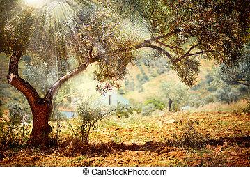 oliv, träd