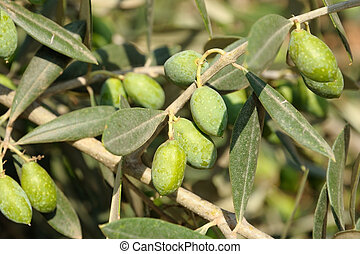 oliv, träd, närbild