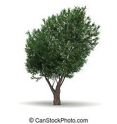 oliva, singolo, albero