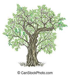 oliva, vecchio albero