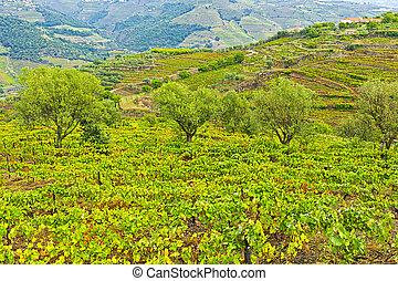 oliva, vinice, lesík